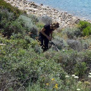 Searching Carpobrotus in Palmarola (Photo Raffaella Frondoni)