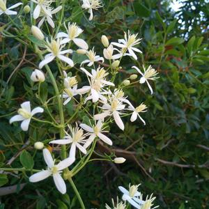 Fragrant virgin's bower (Clematis flammula) (Photo Emanuela Carli)