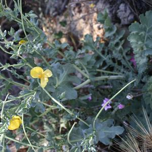 Yellow hornpoppy (Glaucium flavum) in Palmarola (Photo Emanuela Carli)