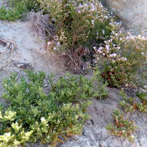 Limonium pontium and Mesembryanthemum nodiflorum (a native plant of aizoacea family) in Ponza (Photo Emanuela Carli)