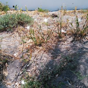 Recolonization in areas where Carpobrotus has been eradicated (Photo Emanuela Carli)